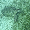 Large Green Turtle having lunch near Cooper's Island