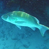 """Snapper Dog Fish.... giving me the """"fish eye"""".... he is very big... 3 ft."""
