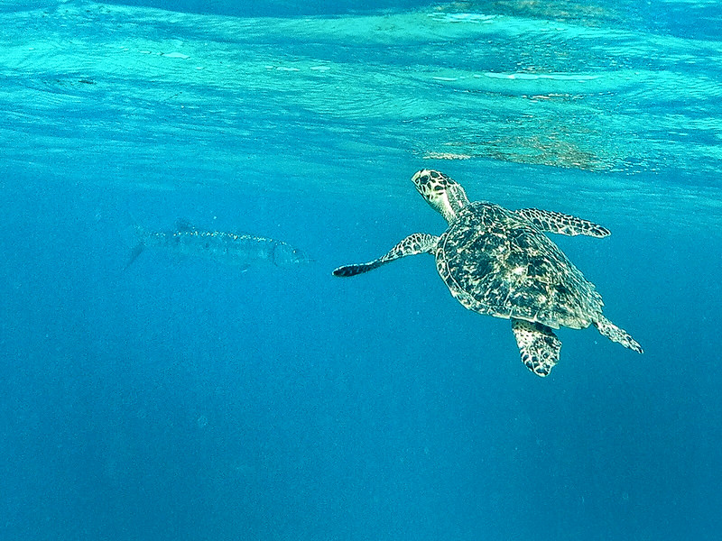 Large Hawksbill coming up for air.. notice large barracuda in background... Spring Bay