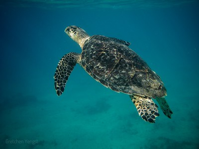 Theodore a magnificent hawks bill turtle ... Spring Bay