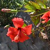 """Next in line coming down the hill is """"Hibiscus"""""""
