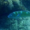 Pudding Wife Wrasse ... very iridescent.