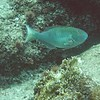 Green Parrotfish with funny expression..