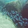 Tang fish schools survived the storms in numbers