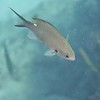 Small resident ... a Brown Chromis