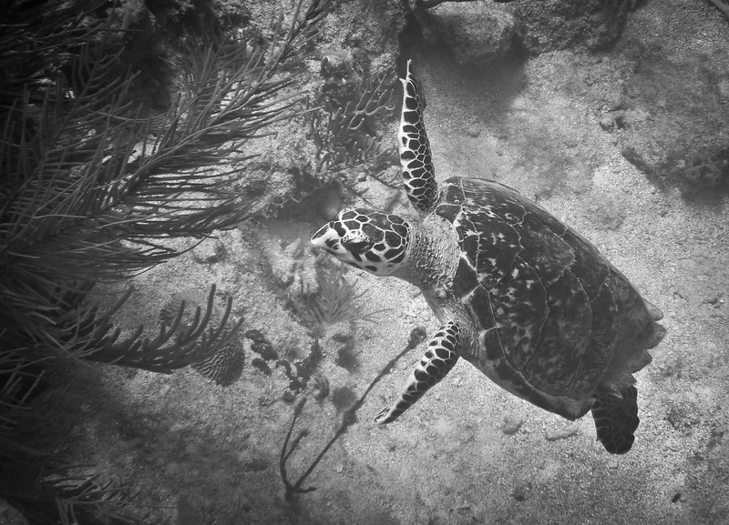 Gorda2012-141 -- Hawk Bill Sea Turtle -- we were blessed with many days of CLEAR water. This made shooting a JOY -- especially when catching this large turtle on a trip snorkeling to Long Bay on the Eastern part of the island.