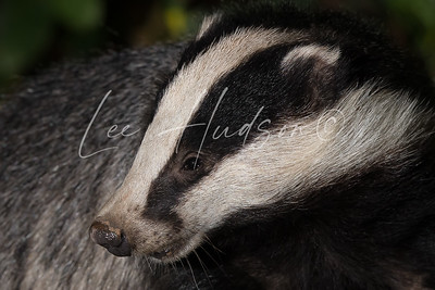 UK badger at night