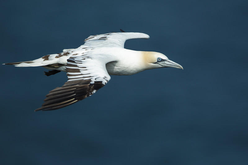 Gannet at Bempton Cliffs August 2012