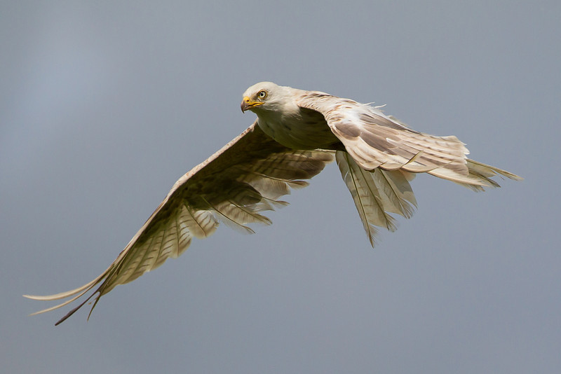 White  Red Kite