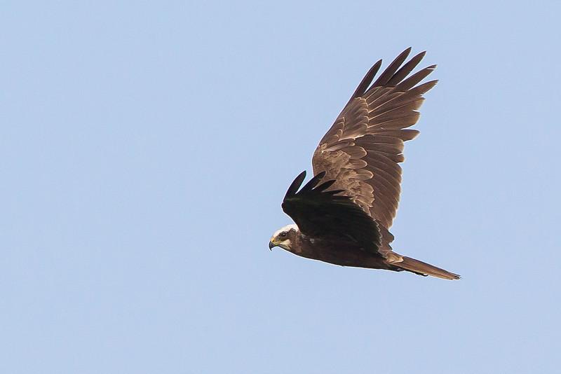 Marsh Harrier Elmley NNR June 2013