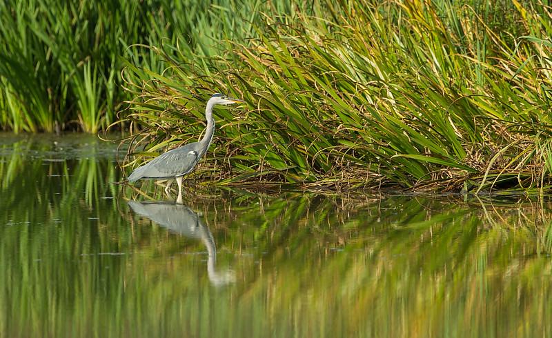 Grey Heron Lavells Lake 2014