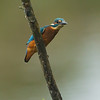 Kingfisher Lavells Lake September 2014