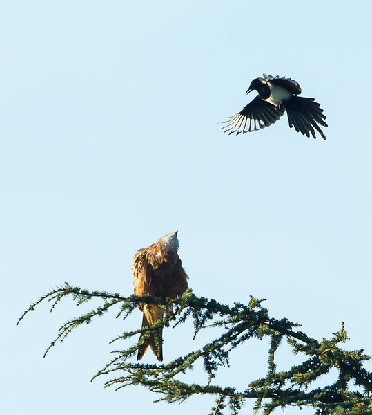 Red Kite and Magpie