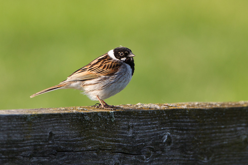 Reed Bunting (male) Elmley NNR June 2013