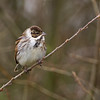 Reed Bunting (male)