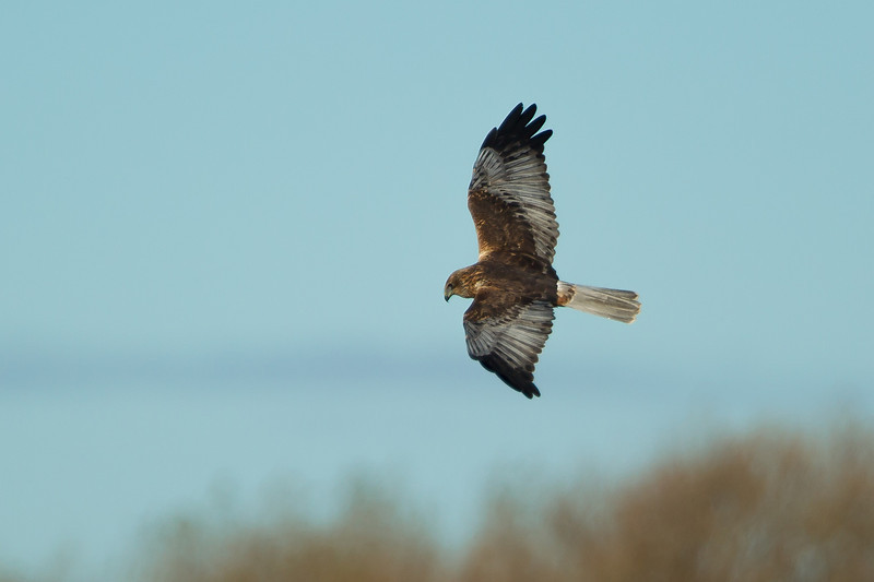 Marsh Harrier Stodmarsh November 2012