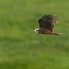 Marsh Harrier Elmley NNR June 2013