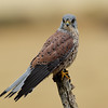 Male Kestral (contolled environment)
