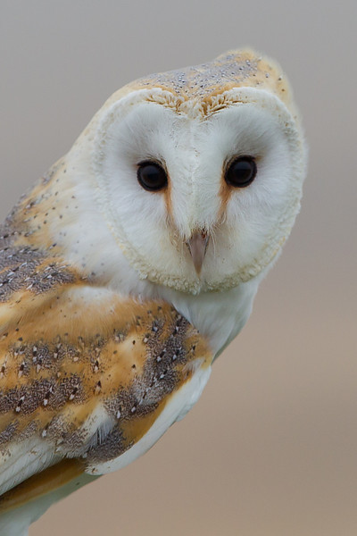 Barn Owl (controlled environment)