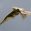 White  Red Kite