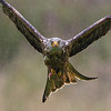 Red Kite at Gigrin Farm
