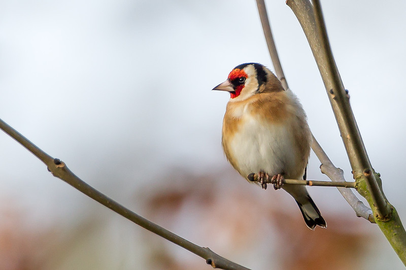Goldfinch Theale Pits January 2014
