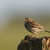 Meadow Pipit Elmley NNR June 2013