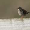 Meadow Pipit Oare Marshes NNR October 2012
