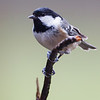 Coal Tit Garden Berkshire Feb 2014
