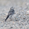 Pied Wagtail (juvenille)