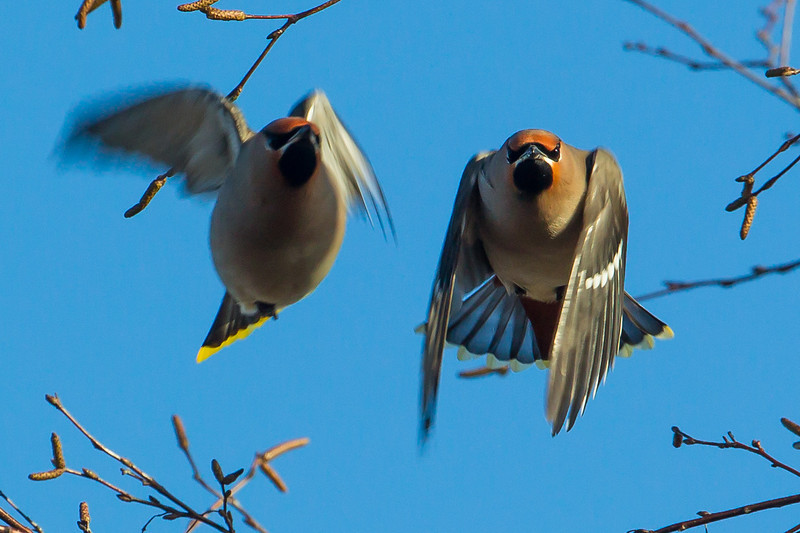 Two Waxwings