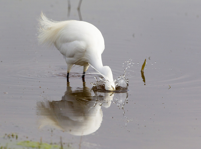 Little Egret Fishing at Elmley NNR March 2013