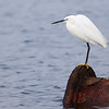 Little Egret Cliffe Marshes Kent