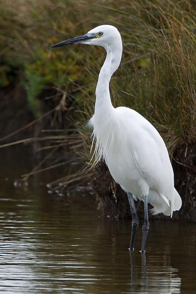 Little Egret Oare Marshes October 2012
