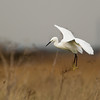 Little Egret Oare Marshes