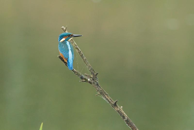 Kingfisher Lavells Lake September 2014