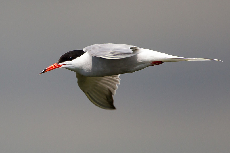 Common Tern Dungeness June 2012