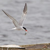 Common Tern feeding young Dungeness 2013
