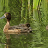 Female Tufted Duck with young