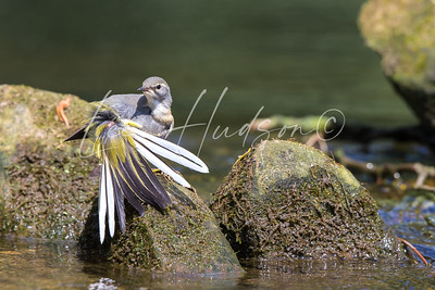 Grey Wagtail Preening Tail Feathers