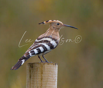 Hoopoe on post