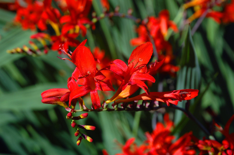 "Crocosmia ""Lucifer,"" a member of the iris family."