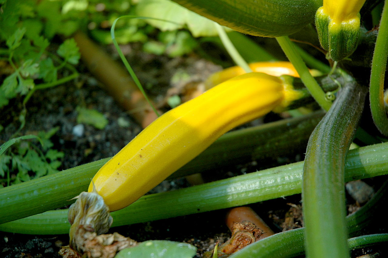 This summer squash will be ready for harvest in a few days.