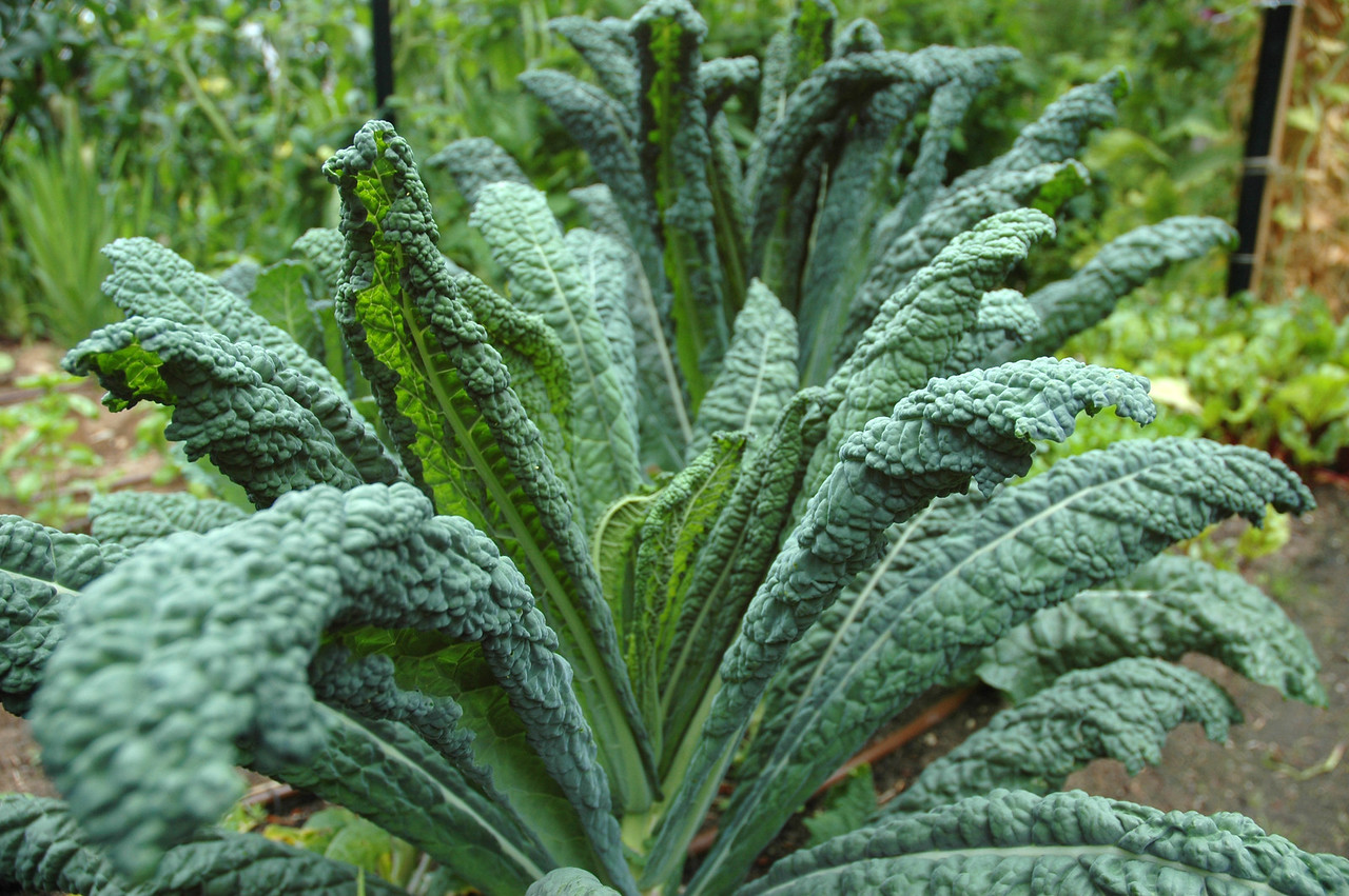 Known as Tuscan kale, black kale, Russian kale or dinosaur kale, this is one of my favorite vegetables. Fabulous in salads, soups and stir-fries, it's among the most nutrient-dense vegetables you can eat.
