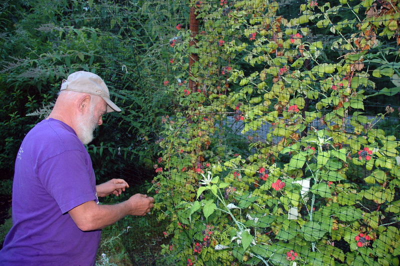 Harvesting black raspberries. These have among the highest antioxidant content of any berry ever tested. The netting is essential to keep birds away.