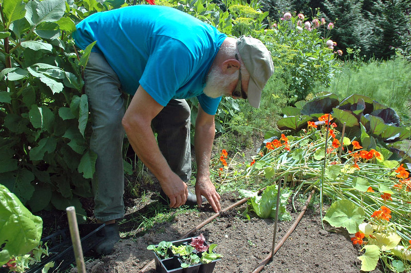 I immediately replant areas in the garden that open up after harvesting. Here, I am setting out several varieties of leaf lettuce.