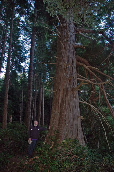 My property here was logged in the 1930s, and was within weeks of being logged again before I was fortunate enough to acquire it. When those original loggers went through, they left a few old-growth trees, including this extraordinary Western Red Cedar.