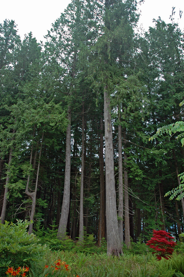 Douglas firs are beautiful, towering evergreens named after Scottish botanist David Douglas. Coast Douglas firs like this one have been known to reach over 300 feet in height.