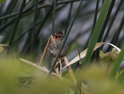 Marsh Wren sings his song among the cattails