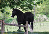 A working horse finds shade under a maple tree
